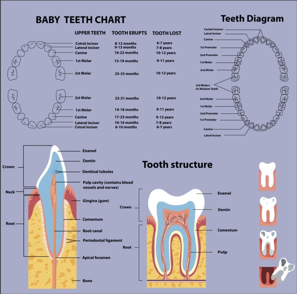 Baby Teeth Chart | Orion Dental